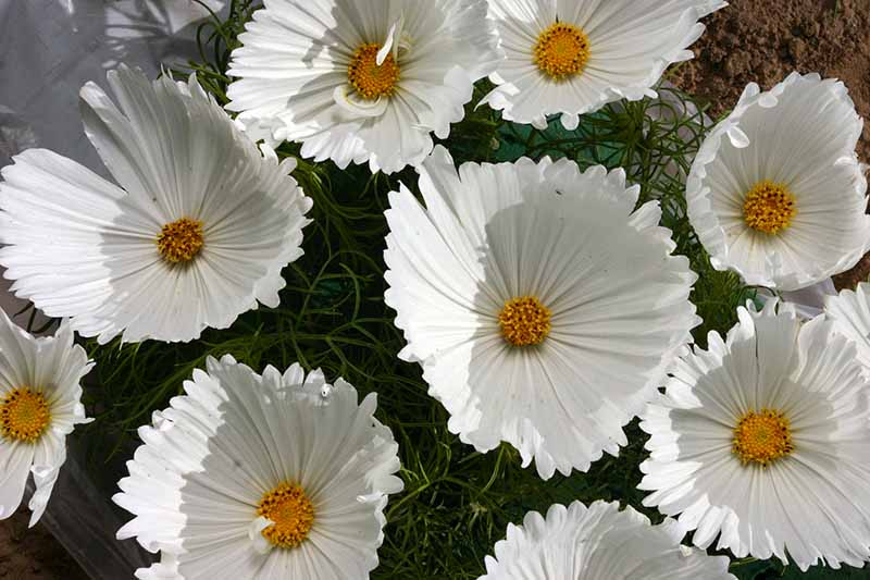 A close up horizontal image of Cosmos bipinnatus 'Cupcakes White' flowers growing in a container.