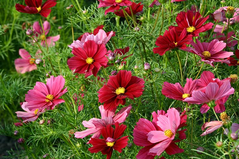 A close up horizontal image of bright red C. bipinnatus 'Rubenza' flowers growing in the garden.