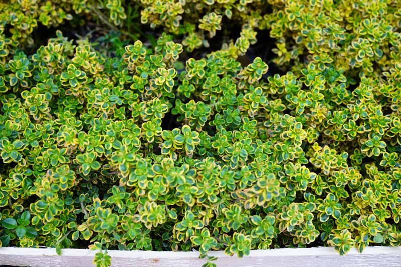 A close up horizontal image of golden lemon thyme growing in a herb garden.