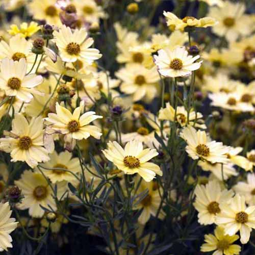 A close up square image of 'Creme Brulee' light yellow flowers growing in the garden.