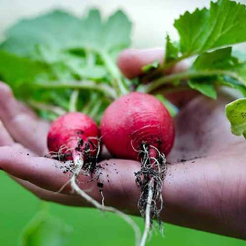 A close up square image of a hand from the right of the frame holding two 'Crimson Giant' radishes with soil and leaves still attached pictured on a soft focus background.