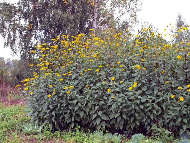 Jerusalem Artichoke tubers Sun Choke 1lb for planting