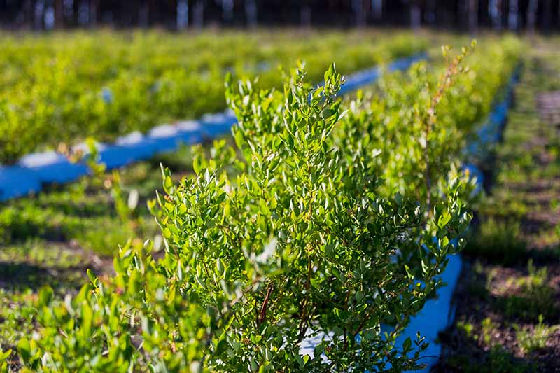 A close up horizontal image of lowbush blueberry shrubs (Vaccinium angustifolium) growing in cultivated rows pictured in light sunshine.