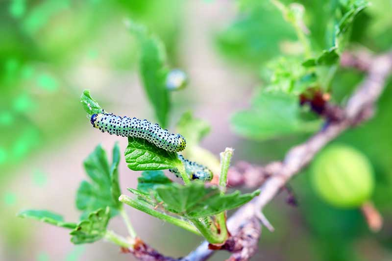 A close up horizontal image of a currant worm feeding on the foliage of a shrub pictured on a soft focus background.