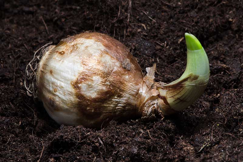 A close up horizontal image of a bulb that has started to sprout set in dark rich soil.