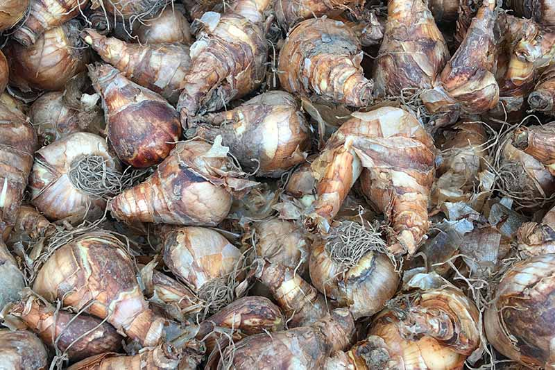 A close up horizontal image of a large pile of daffodil bulbs ready for planting.