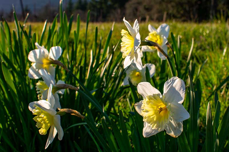 A close up horizontal image of daffodils flowering in the spring garden pictured in light sunshine.