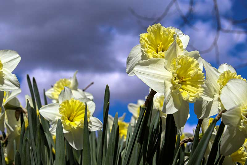 A close up horizontal image of a swath of daffodil flowers blooming in the garden pictured on a blue sky background.
