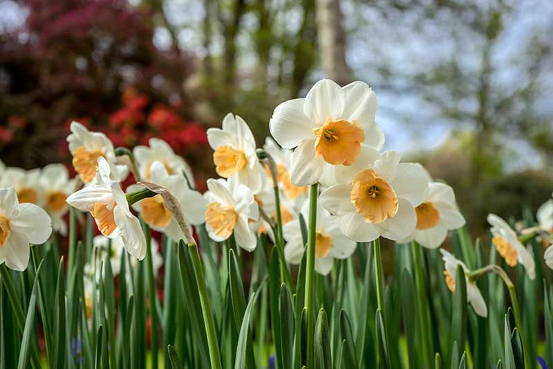 A close up horizontal image of a swathe of spring flowers pictured on a soft focus background.