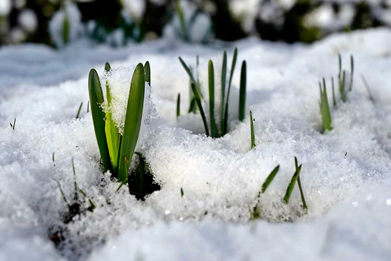 A close up horizontal image of daffodil foliage pushing through the snow in spring.