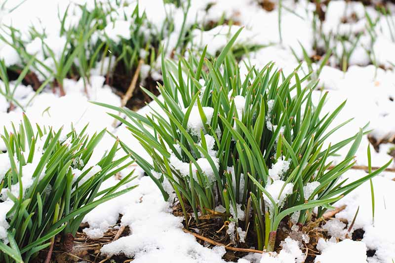 A close up horizontal image of the green sprouts of daffodil plants covered with spring snow.
