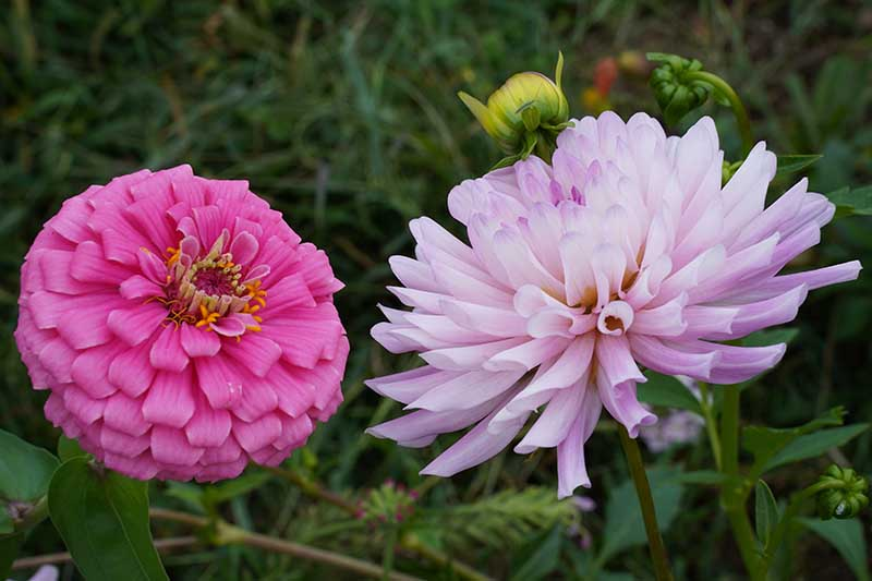 A close up horizontal image of two dahlia flowered zinnia flowers growing in the garden pictured on a soft focus background.