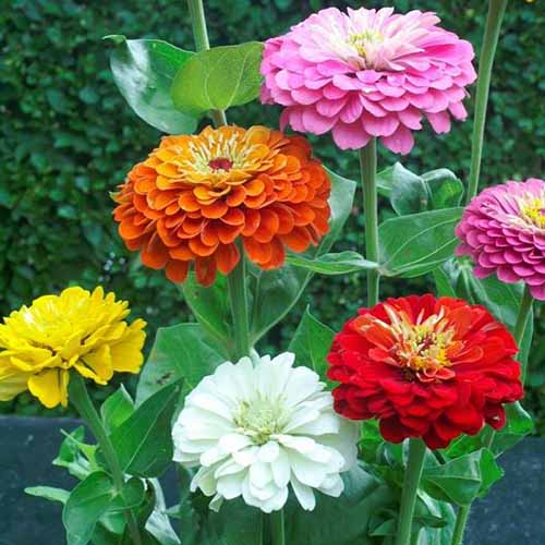 A close up square image of of different colored dahlia flowered zinnias growing in the garden pictured on a soft focus background.