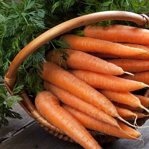 A close up square image of a pile of 'Danvers' carrots in a wicker basket set on a wooden surface.