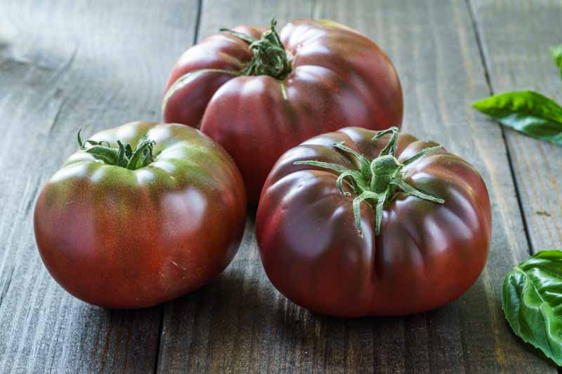 A close up horizontal image of three dark purple tomatoes set on a wooden surface with basil leaves to the right of the frame.