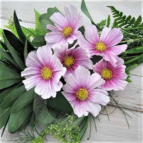 A close up square image of light pink 'Daydream' cosmos flowers in a bouquet set on a wooden surface.