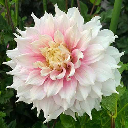 A close up square image of a Decorative 'Gitts Perfection' dahlia flower growing in the garden.