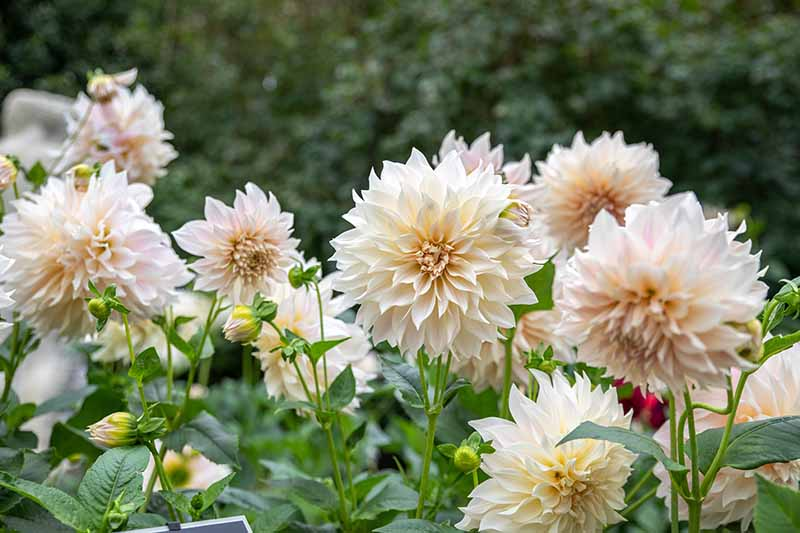 A close up horizontal image of white decorative dahlias growing in the garden pictured on a soft focus background.