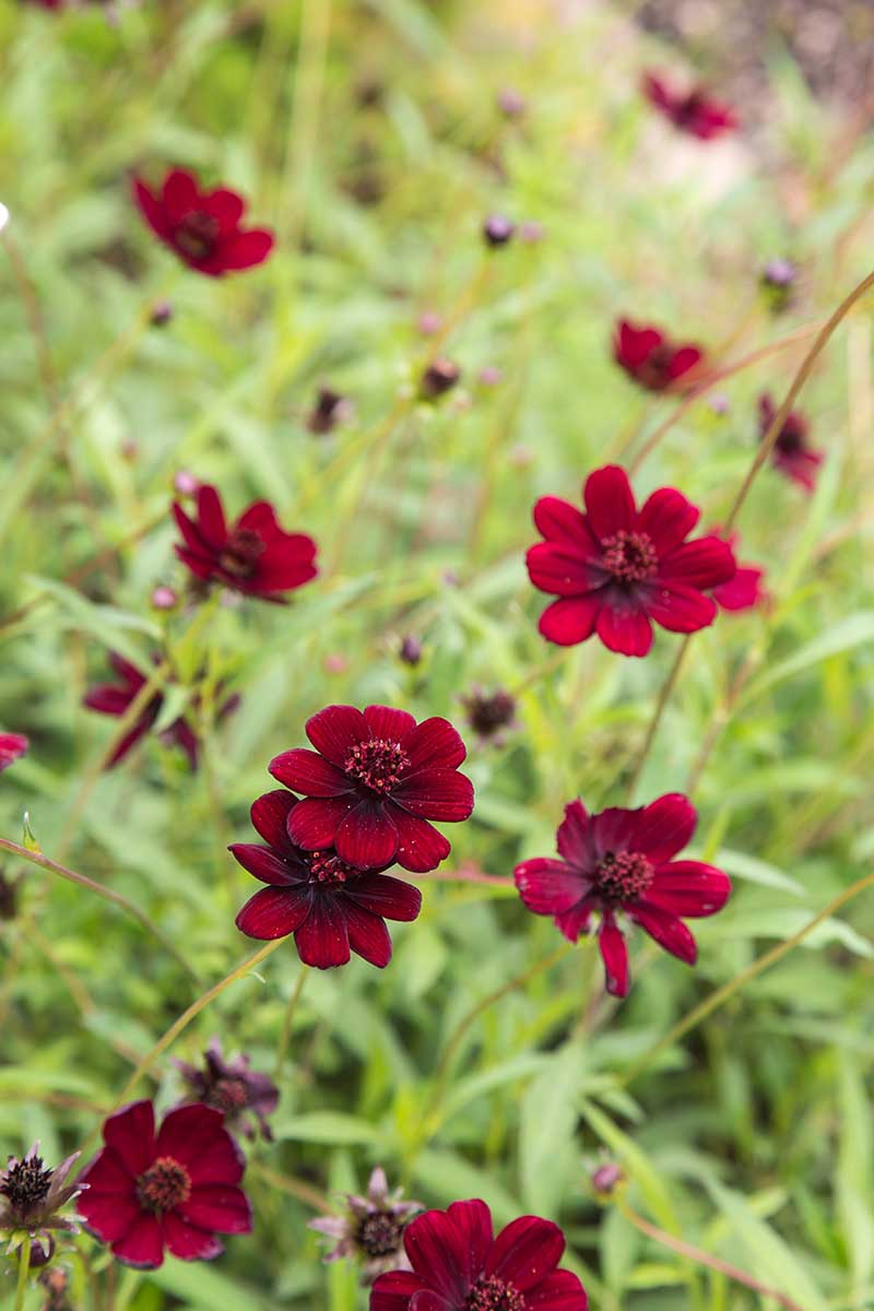 A close up vertical image of deep red 'Chocolate' Cosmos atrosanguineus flowers with foliage in soft focus in the background.