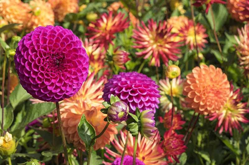 A close up horizontal image of different types of dahlia flowers growing in the garden pictured in bright sunshine.