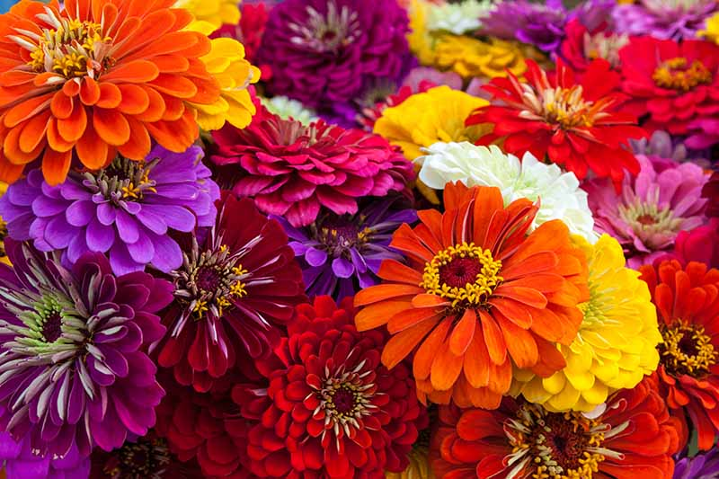 A close up horizontal image of brightly colored zinnia flowers in a bouquet.