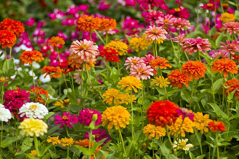 A close up horizontal image of different types of zinnia flowers growing in the garden.
