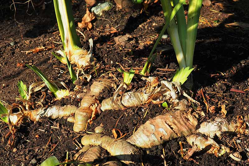 A close up horizontal image of a large clump of iris rhizomes ready to be dug up and divided for replanting, pictured in light filtered sunshine.