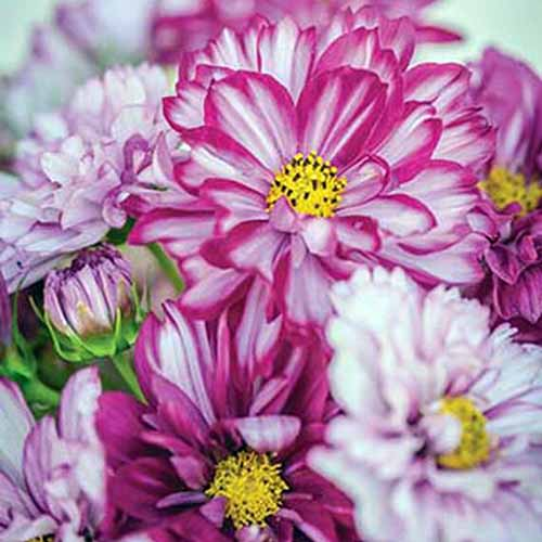 A close up square image of pink and white 'Double Click' flowers pictured on a soft focus background.