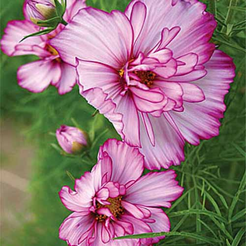 A close up square image of cosmos 'Double Take' flowers pictured on a soft focus background.