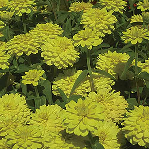 A close up square image of bright yellow 'Double Zahara' flowers growing in the garden.