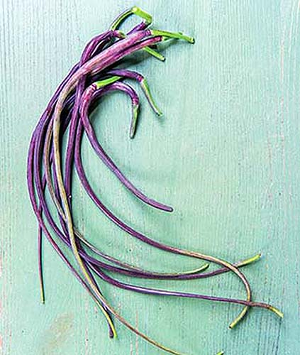 A close up vertical image of 'Dragon's Tail' radishes set on a blue surface.