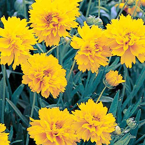 A close up square image of bright yellow 'Early Sunrise' flowers growing in the garden.