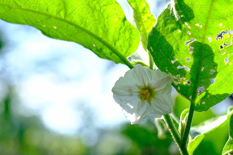 A close up horizontal image of a white Solanum melongena flower pictured on a soft focus background.