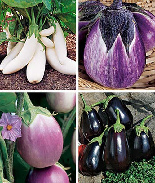 A collage of images showing four different varieties of eggplant fruit.