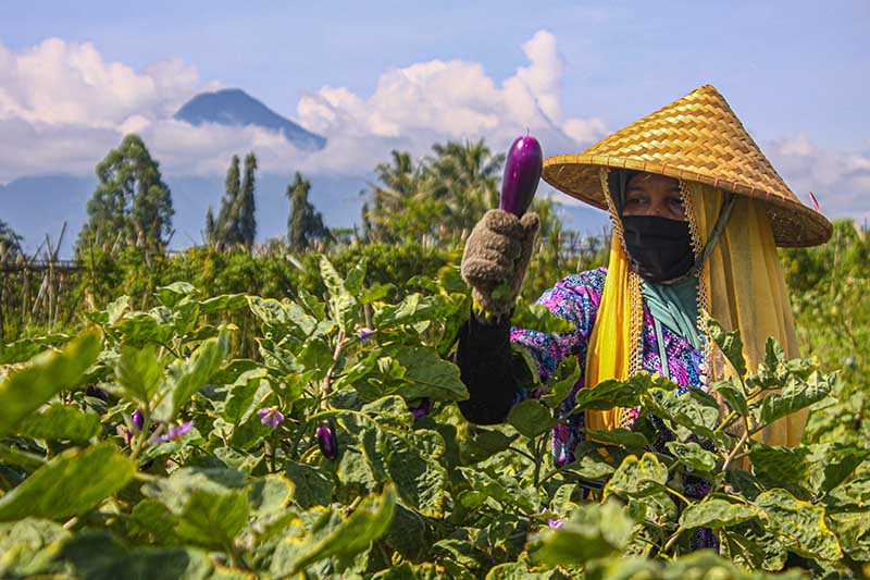 A horizontal image of a farmer in a field harvesting ripe eggplants pictured on a blue sky background with a mountain in the distance.