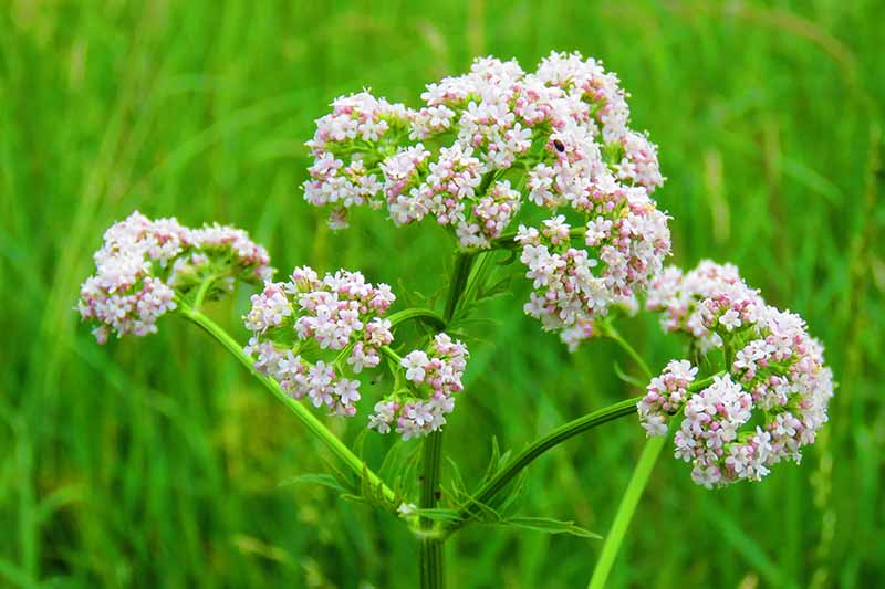 A close up horizontal image of a Pimpinella anisum flower pictured on a soft focus background.