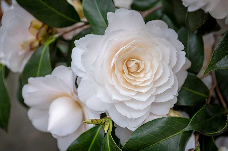A close up horizontal image of formal double camellia flowers growing in the garden pictured on a soft focus background.