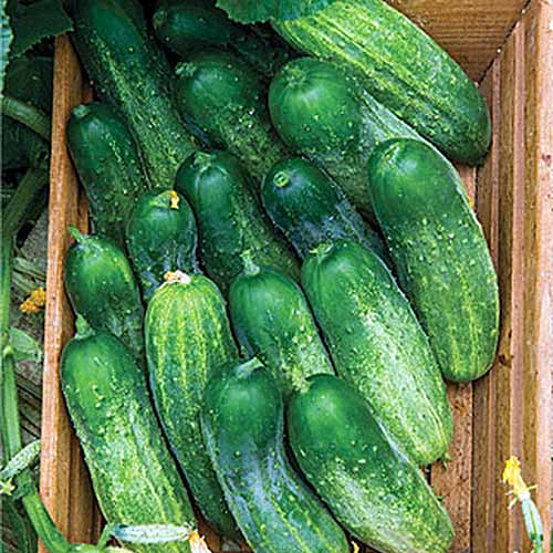 A close up square image of a wooden box filled with 'Fresh Pickles' cucumbers.