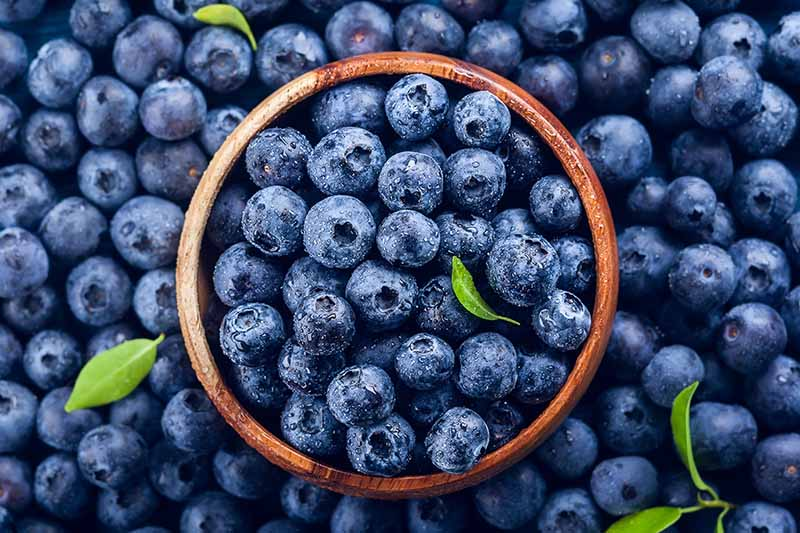 A close up top down image of a wooden bowl nestled in a pile of blueberries with sprigs of foliage scattered around.