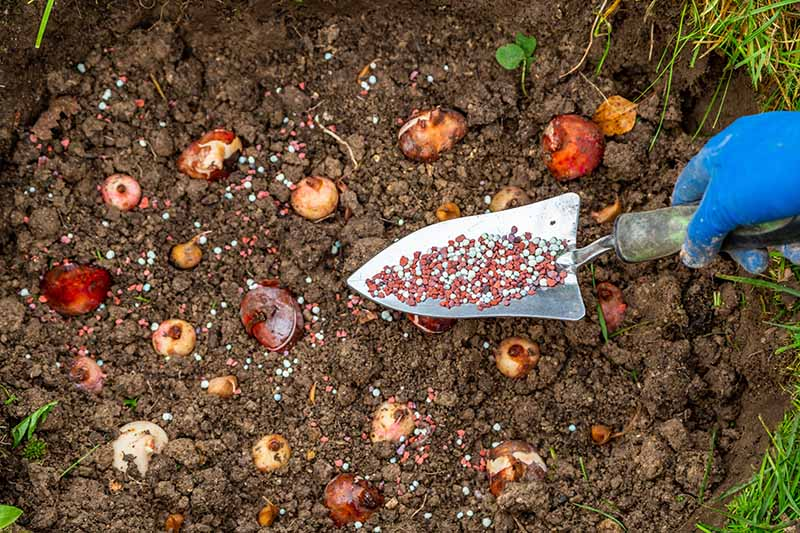 A close up horizontal image of a hand from the right of the frame holding a garden trowel applying fertilizer to the garden.