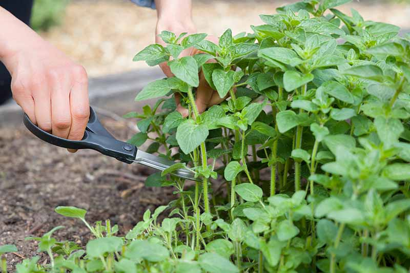 A close up horizontal image of two hands from the left of the frame holding scissors and cutting off sprigs of Greek oregano growing in a raised bed garden.