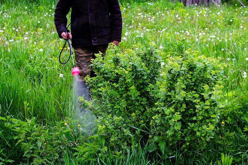 A close up horizontal image of a gardener using a backpack sprayer to spray pesticides onto a shrub in the garden.