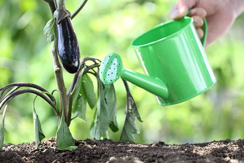 A close up horizontal image of a hand from the top of the frame holding a green watering can adding moisture to a Solanum melongena plant pictured on a soft focus background.