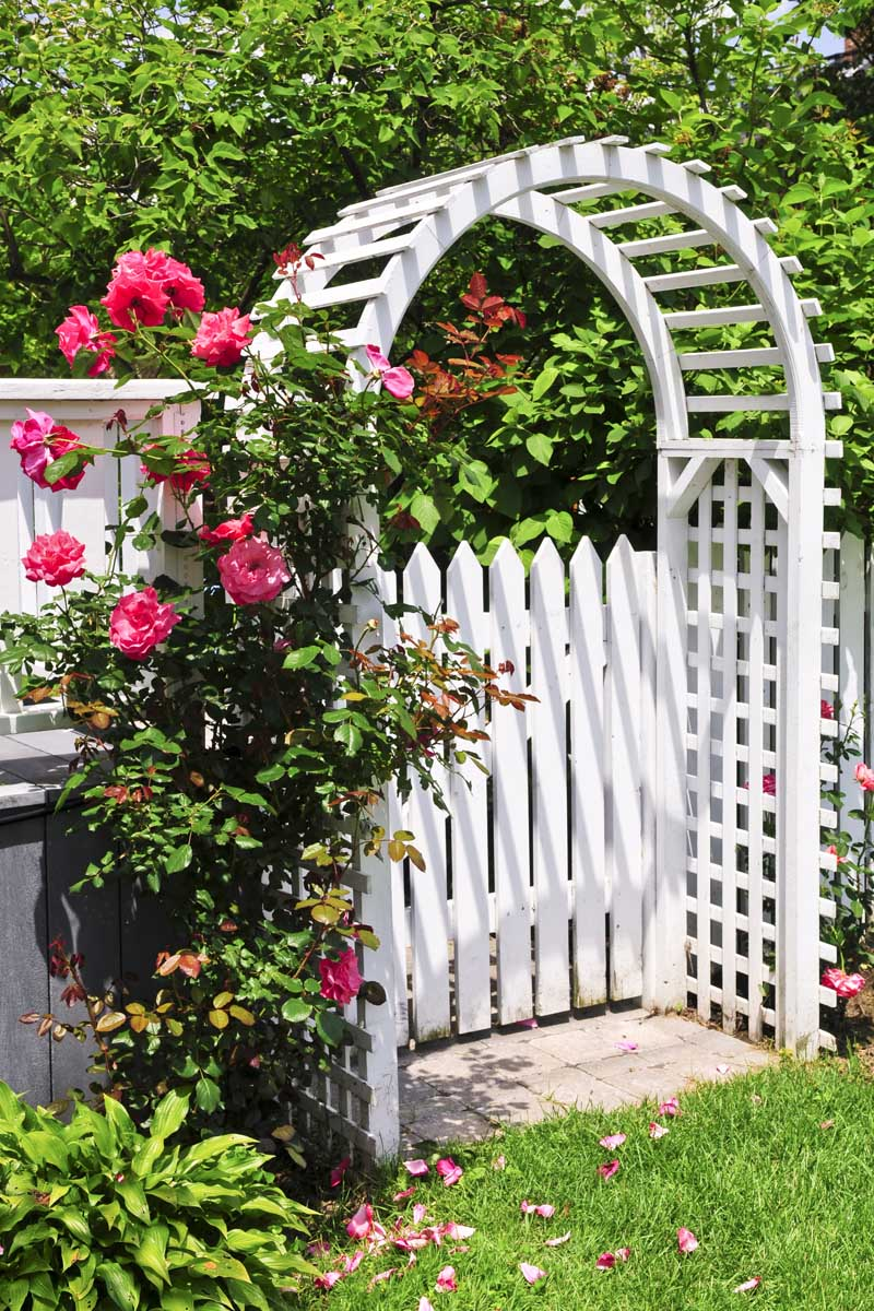 A white arched arbor, with pink climbing roses and a white picket fence
