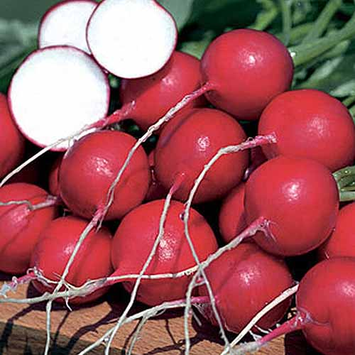 A close up square image of 'German Giant' radishes whole and sliced pictured in bright sunshine on a wooden surface.