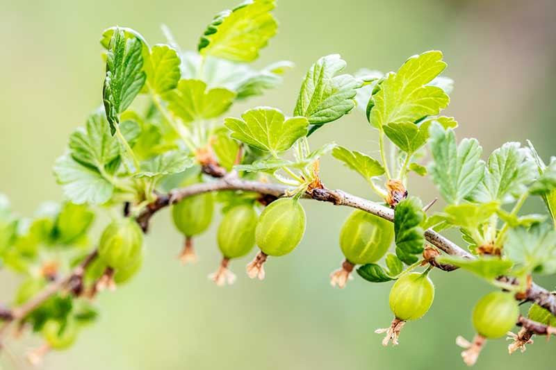 A close up horizontal image of a branch of gooseberry fruit growing in the garden pictured on a soft focus background.