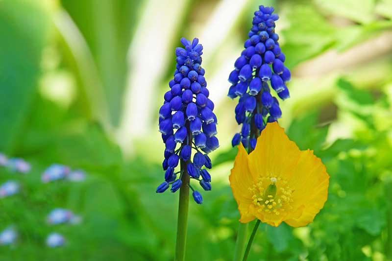 A close up horizontal image of grape hyacinths and poppies growing in the garden pictured on a green soft focus background.