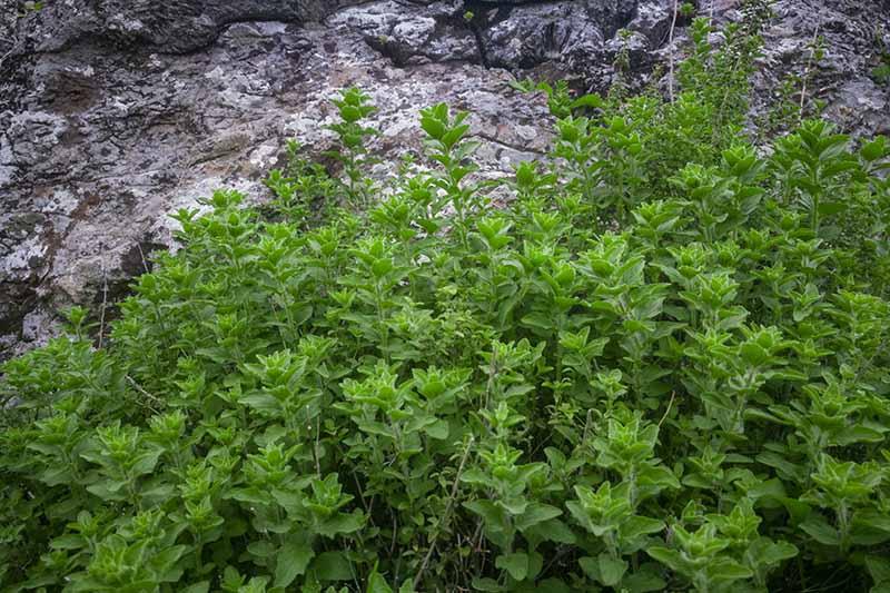 A close up horizontal image of Origanum vulgare var. hirtum aka Greek oregano growing wild in rocky soil.