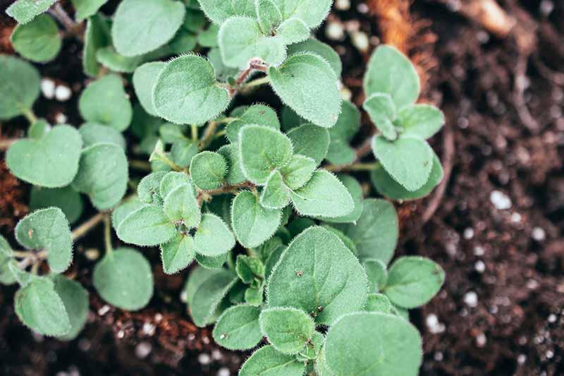 A close up horizontal image of Origanum vulgare var. hirtum (Greek oregano) growing in the garden.