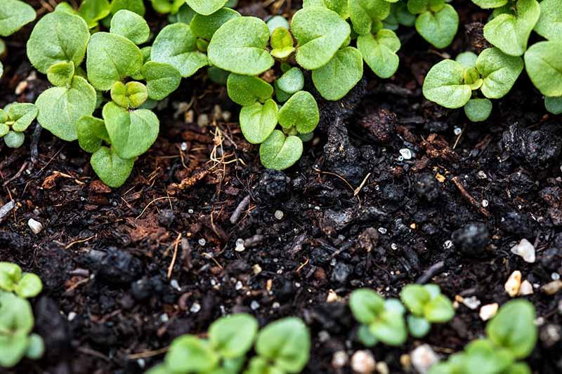 A close up horizontal image of Origanum vulgare var. hirtum seedlings growing in dark rich soil.
